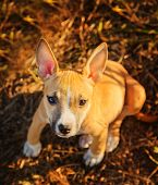 stock photo of american staffordshire terrier  - The puppy of the American Staffordshire terrier sits in a high grass - JPG