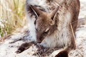 picture of wallabies  - Baby Bennetts Wallaby in mothers pouch Freycinet National Park Tasmania Australia - JPG