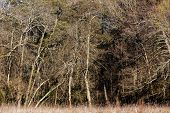 pic of alder-tree  - Alder trees in a temperate forest in winter - JPG