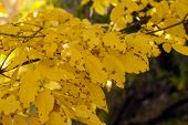 picture of ash-tree  - ash tree yellow leaves on dark background - JPG