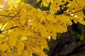 image of ash-tree  - ash tree yellow leaves on dark background - JPG