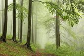 picture of alder-tree  - Path through early autumn forest on a foggy - JPG