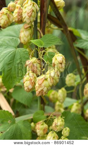 Ripened Hop Cones In The Hop Garden