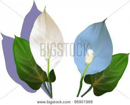 illustration with anthurium flowers and leaves isolated on white background