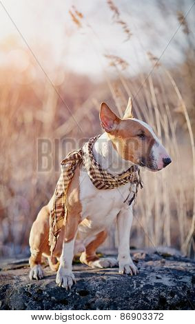 The Red Dog Of Breed A Bull Terrier In A Checkered Scarf