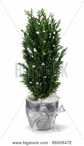 Christmas Cypress Decoration