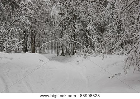 Tree In  Form Of  Arch In  Winter Forest
