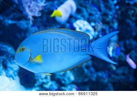Yellowfin Surgeon Fish