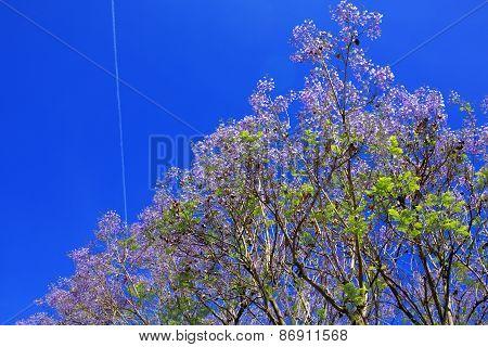 Jacaranda blossom tree