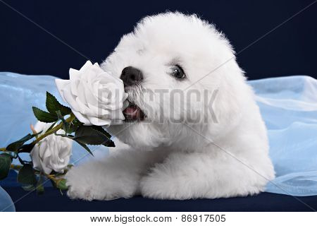 White Terrier Puppy Gnawing Flower On A White Background