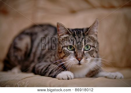 Gray Striped Cat With Green Eyes.