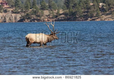 Rutting Bull Elk in Lake