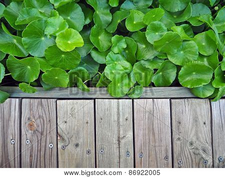 Wood Walkway And Asiatic Pennywort, Centella Asiatica