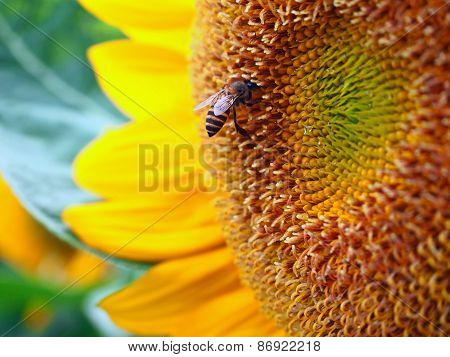 Close Up Honeybee On A Sunflower