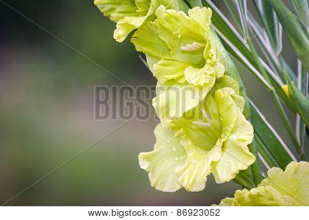 Gladioli Flowers On Green Meadow Background