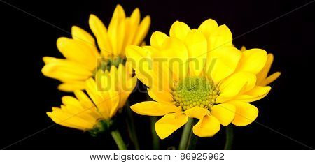 Yellow Daisy Macro
