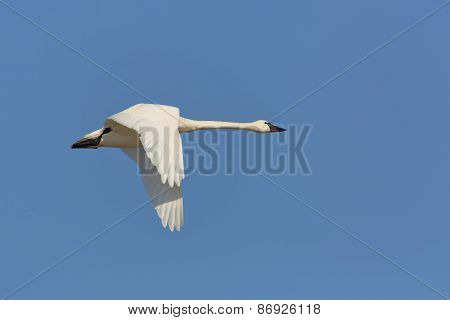 Tundra Swan Flying Against A Blue Sky