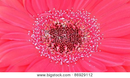 Pollen Of Pink Gerbera Flower Inside Macro Shot