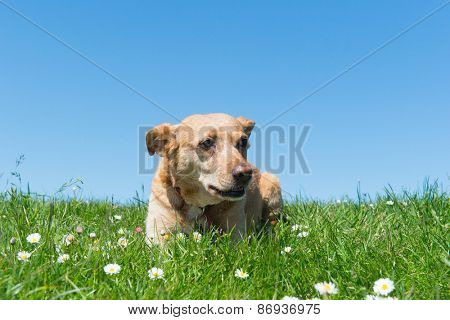 Brown cross breed dog laying in grass