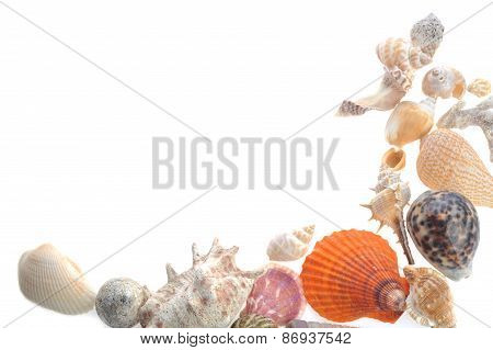 Many Sea Cockleshells On White