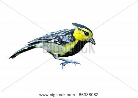 Yellow-cheeked Tit