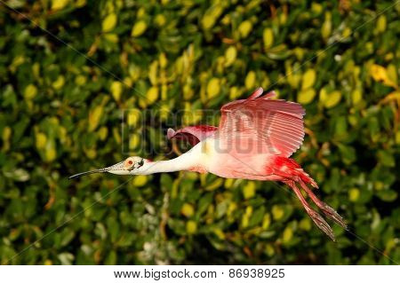 Roseate Spoonbill In Flight Near The Nest