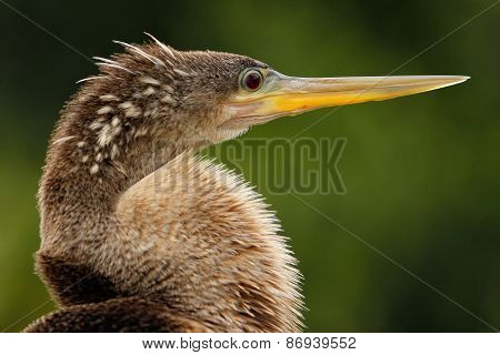 Portrait Of Female Anhinga