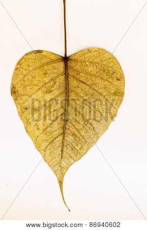 Heart shaped Peepal tree leaf on a plain background