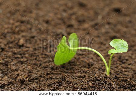 Medicinal Thankuni Plant