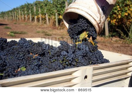Close-up of Grapes Dumped Into Bin