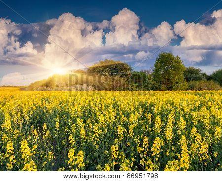 Colorful Blossom Field Of Colza