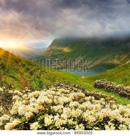 Magic White Rhododendron Flowers In Summer Mountain