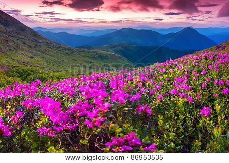 Magic Pink Rhododendron Flowers Swaying In The Wind