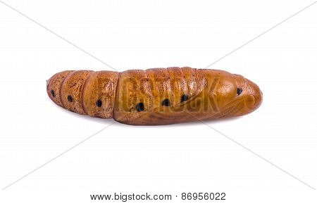 Butterfly Pupa Isolated On White Background