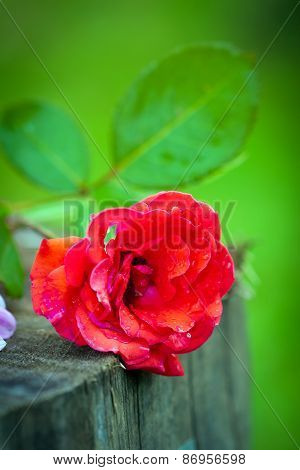 Close-up Of Bright Colorful Red Rose Flower