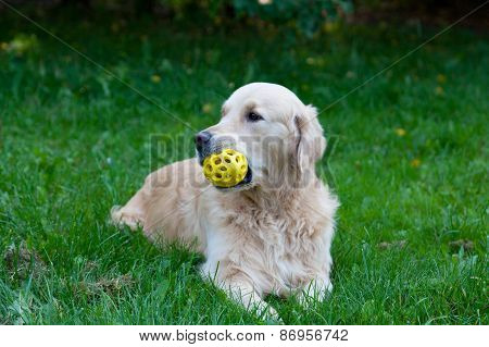 Dog A Golden Retriever With A Toy In A Mouth Lies On A Green Grass In The Sunny Summer Day