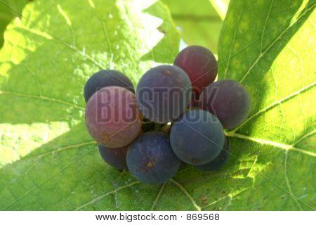 Small Grape Cluster
