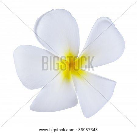 Frangipani Or Plumeria Flower Isolated On White Background