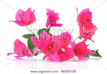 Pink Bougainvillea Flowers Isolated On White Background