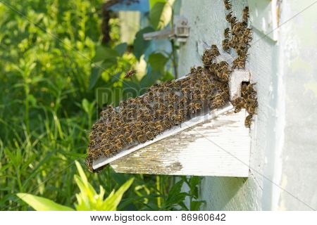 Bees Near A Beehive