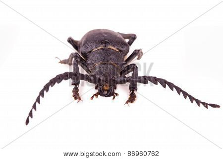 Large Black Beetle