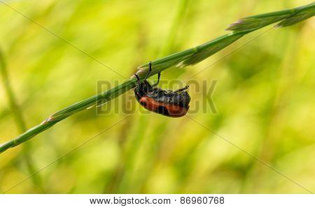 Ladybug Hanging On A Blade