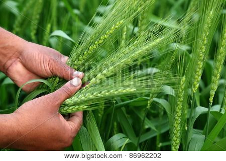 Hand Holding Green Wheats