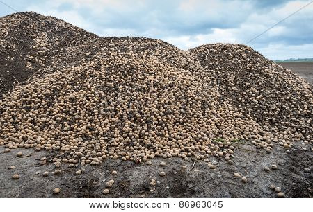 Heap Of Redundant Potatoes On A Field Edge