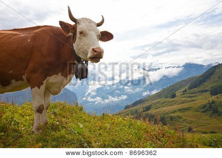 Milk Cow On Meadow In The Alps