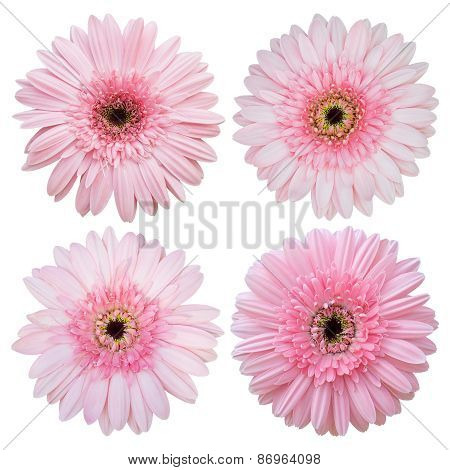 Set Of Pink Gerbera Flower Isolated On White With Clipping Path
