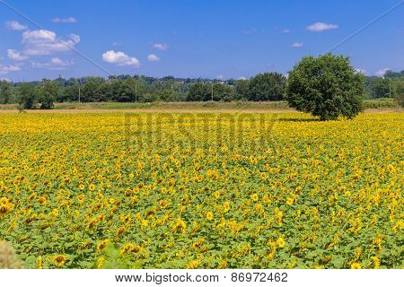 Big Field Of Sunflowers In The South Of France
