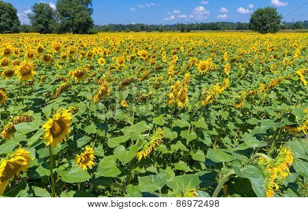 Field Of Sunflowers In France