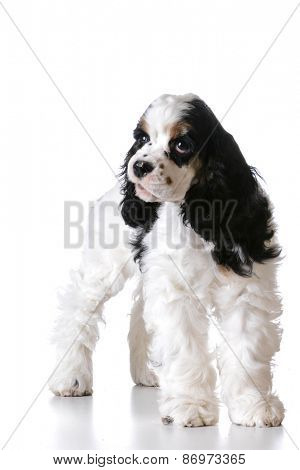 cute puppy - american cocker spaniel puppy standing on white background