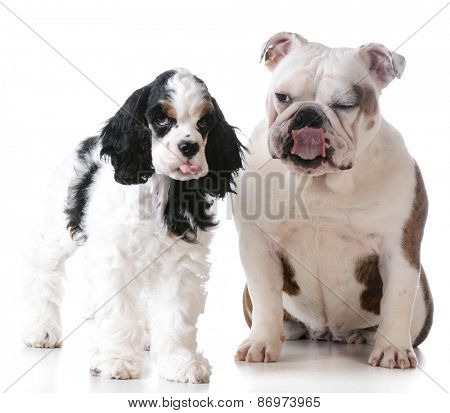 funny dog - cocker spaniel and bulldog with silly expressions isolated on white background